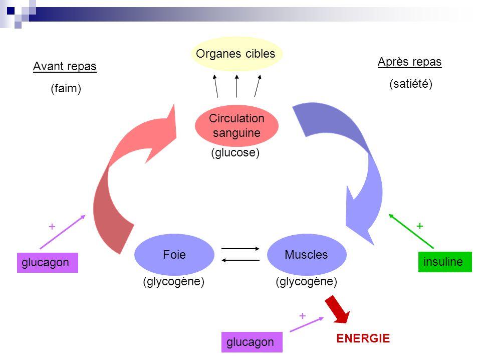 Avant repas (faim) + insuline Organes cibles Circulation sanguine Muscles (glycogène) (glucose) Foie (glycogène) Après repas (satiété) ENERGIE glucago