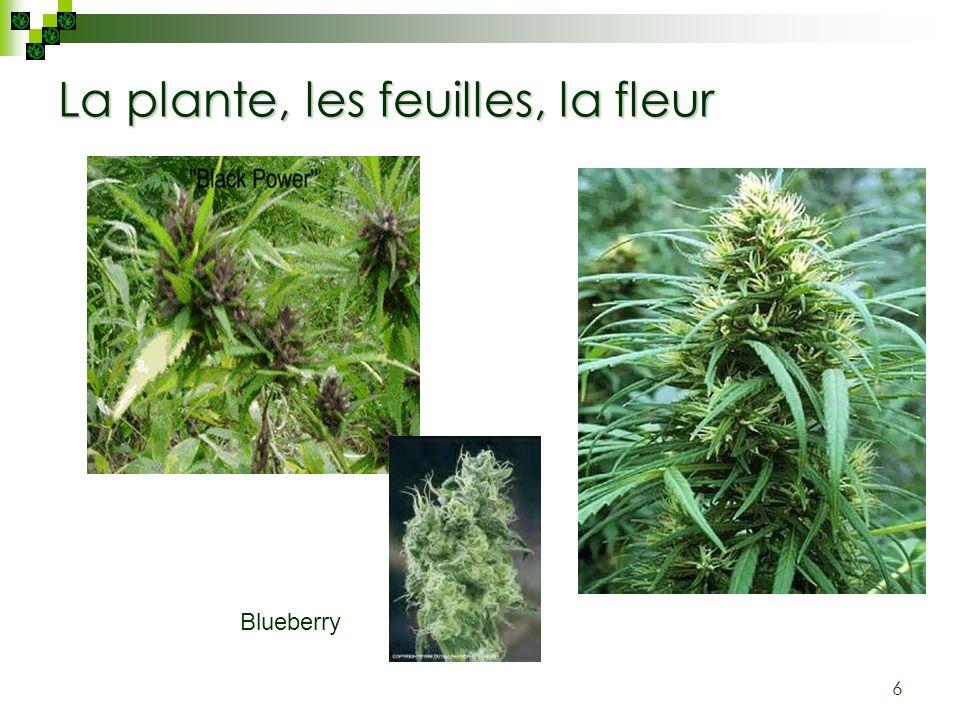 6 La plante, les feuilles, la fleur Blueberry