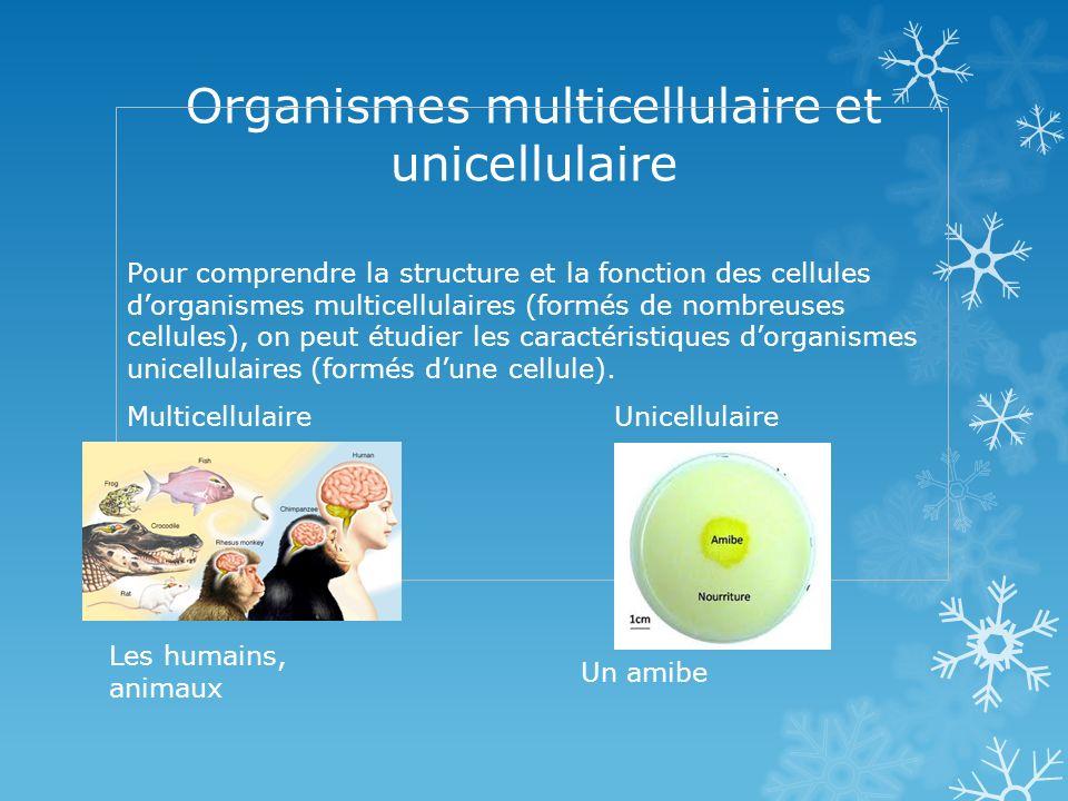 Organismes multicellulaire et unicellulaire Pour comprendre la structure et la fonction des cellules dorganismes multicellulaires (formés de nombreuses cellules), on peut étudier les caractéristiques dorganismes unicellulaires (formés dune cellule).