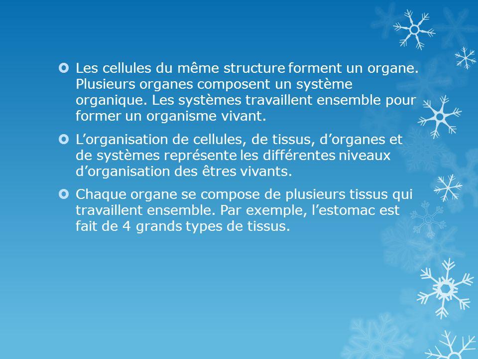 Les cellules du même structure forment un organe. Plusieurs organes composent un système organique. Les systèmes travaillent ensemble pour former un o