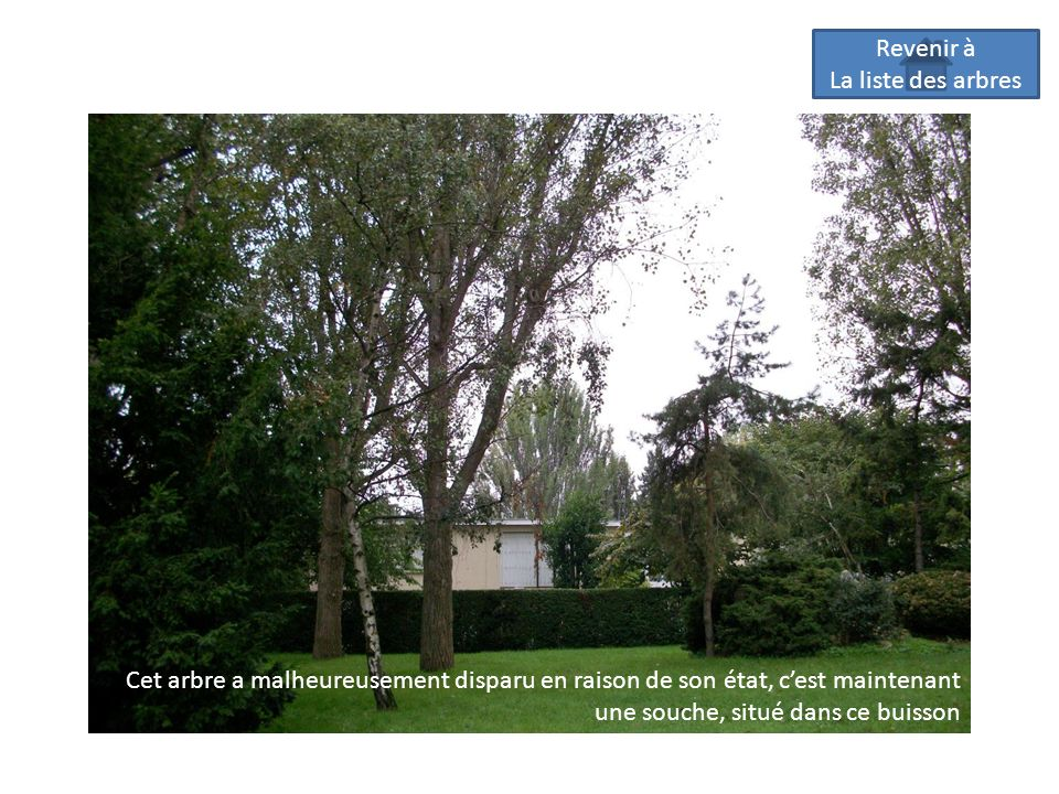 Revenir à La liste des arbres Cet arbre a malheureusement disparu en raison de son état, cest maintenant une souche, situé dans ce buisson