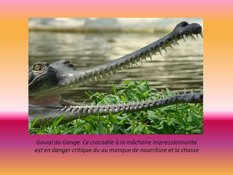 Tigre de Sumatra espèce endémique de l ile. Population en déclin moins de 700. ce carnivore souffre de la dégradation des espaces