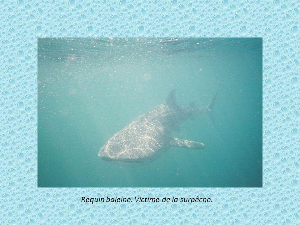 Gavial du Gange. Ce crocodile à la mâchoire impressionnante est en danger critique du au manque de nourriture et la chasse