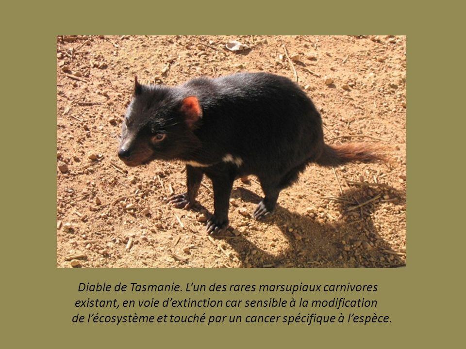 Busard de la Réunion. Appelé aussi Papangue. seul rapace de l ile, longtemps chassé malgré son état protégé Il reste quelques centaines seulement sur