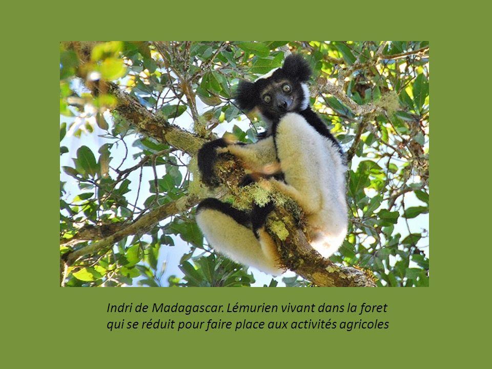 Le zèbre de Grévy. Moins de 800 répertoriés dans le Monde. au Kenya et en Ethiopie. En difficulté à cause de la chasse, et, la désertification