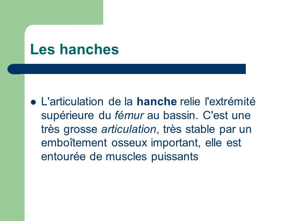 L'articulation de la hanche relie l'extrémité supérieure du fémur au bassin. C'est une très grosse articulation, très stable par un emboîtement osseux