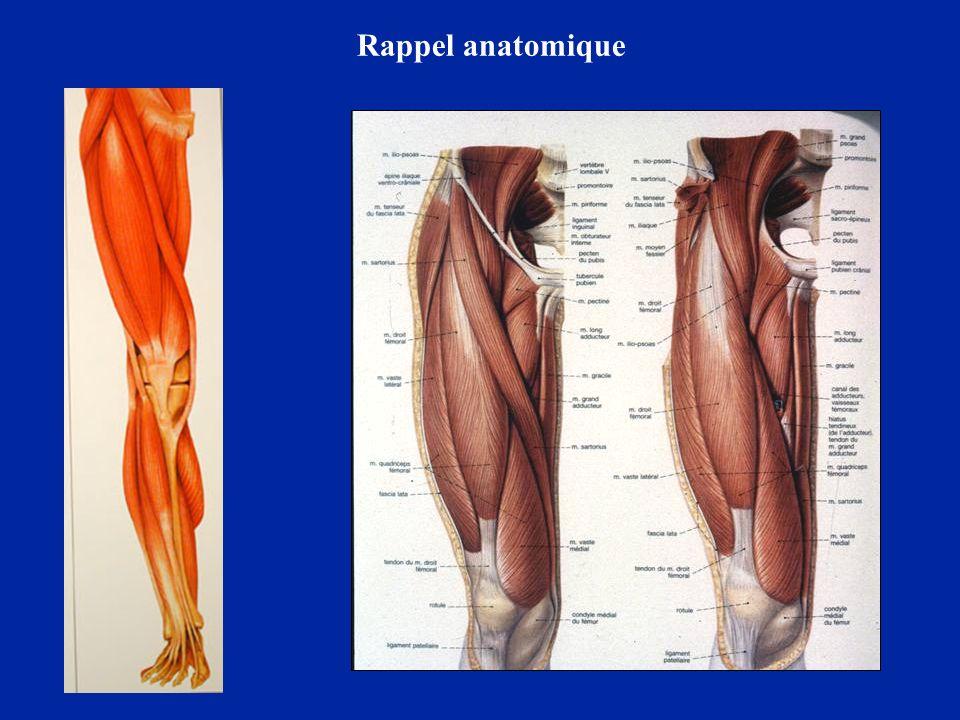 Face externe de la cuisse Tenseur du fascia lata Bandelette ilio-tibiale Quadriceps Biceps