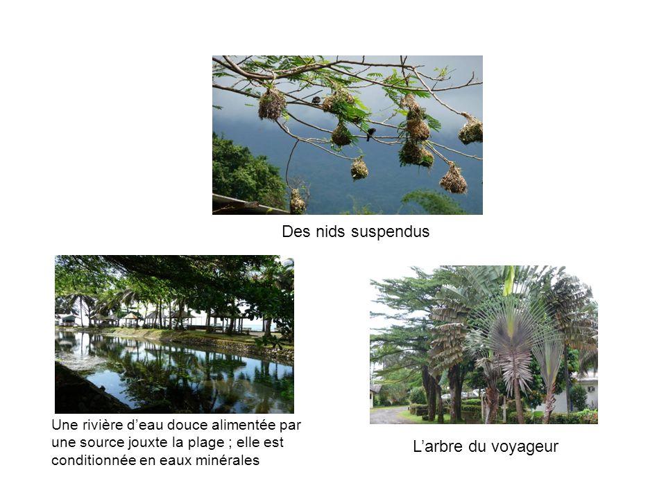 Larbre du voyageur Une rivière deau douce alimentée par une source jouxte la plage ; elle est conditionnée en eaux minérales Des nids suspendus