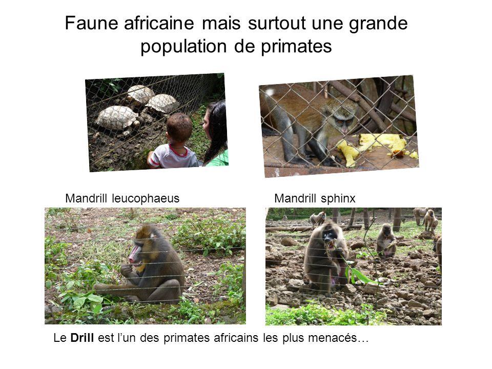 Faune africaine mais surtout une grande population de primates Le Drill est lun des primates africains les plus menacés… Mandrill leucophaeusMandrill sphinx