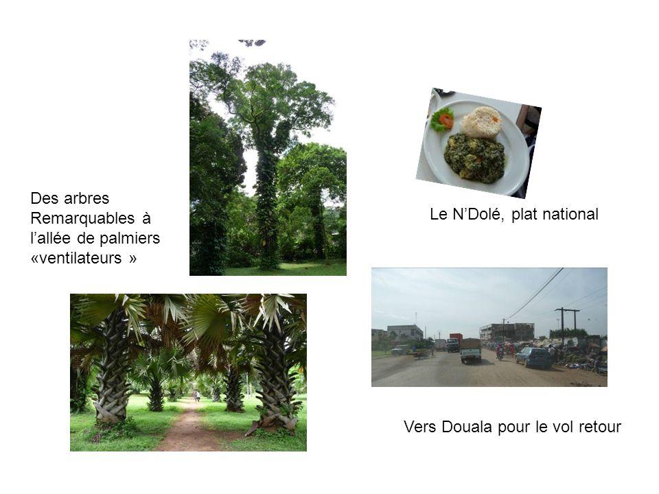 Vers Douala pour le vol retour Des arbres Remarquables à lallée de palmiers «ventilateurs » Le NDolé, plat national