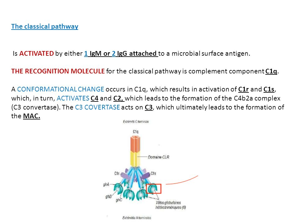 The classical pathway Is ACTIVATED by either 1 IgM or 2 IgG attached to a microbial surface antigen. THE RECOGNITION MOLECULE for the classical pathwa