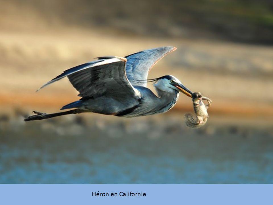 Héron en Californie