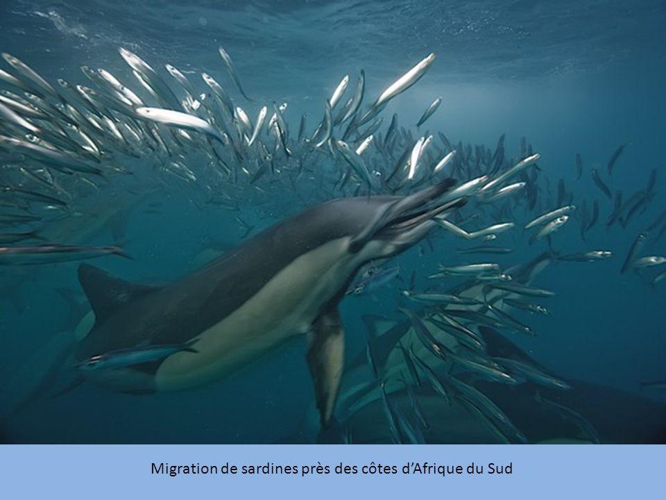 Migration de sardines près des côtes dAfrique du Sud