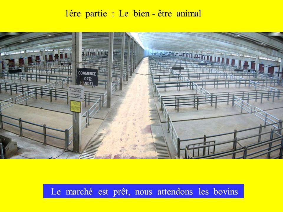 Le marché est prêt, nous attendons les bovins 1ère partie : Le bien - être animal