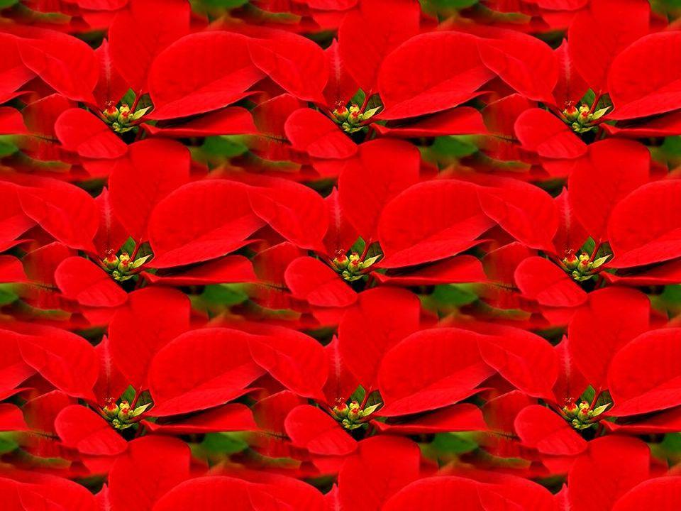 Les parties vivement colorées du poinsettia ne sont pas des fleurs.