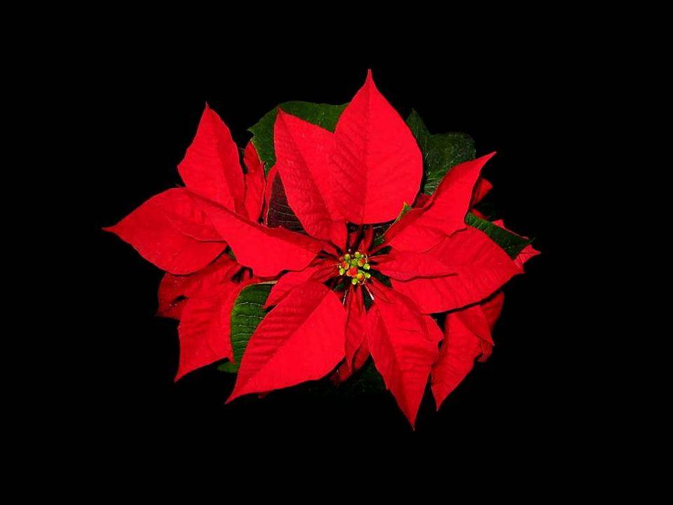 La première description botanique élaborée de cette plante a été faite par un botaniste allemand, Karl Ludwig Willdenow, (1765-1812), et son appellati