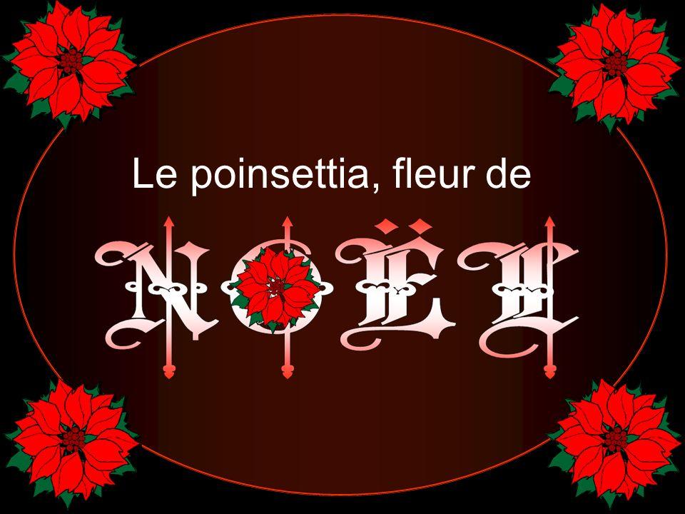 Pour les Mexicains, les poinsettias demeurent la «Flores de la Noche Buena».