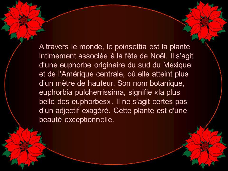 A travers le monde, le poinsettia est la plante intimement associée à la fête de Noël.