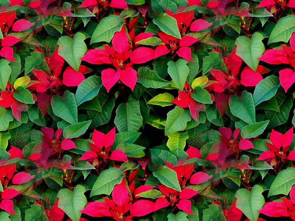 A travers le monde, le poinsettia est la plante intimement associée à la fête de Noël. Il sagit dune euphorbe originaire du sud du Mexique et de lAmér