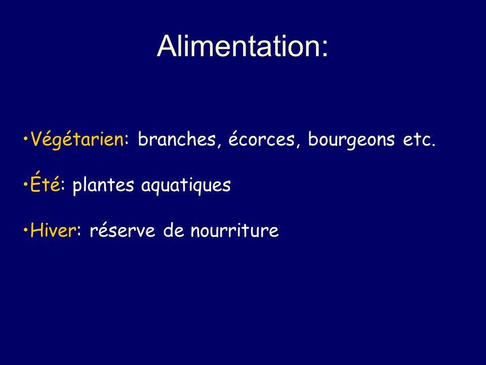 Alimentation: Végétarien: branches, écorces, bourgeons etc. Été: plantes aquatiques Hiver: réserve de nourriture
