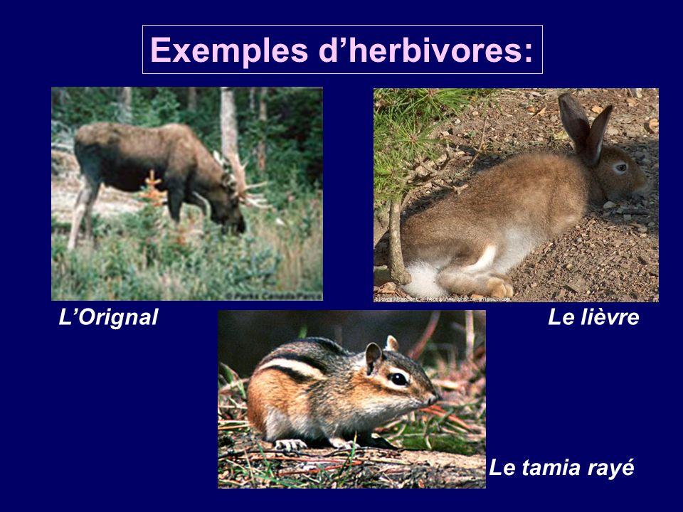 Exemples dherbivores: LOrignalLe lièvre Le tamia rayé