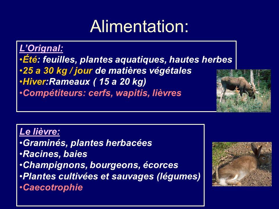 Alimentation: LOrignal: Été: feuilles, plantes aquatiques, hautes herbes 25 a 30 kg / jour de matières végétales Hiver:Rameaux ( 15 a 20 kg) Compétite