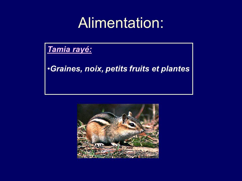 Alimentation: Tamia rayé: Graines, noix, petits fruits et plantes