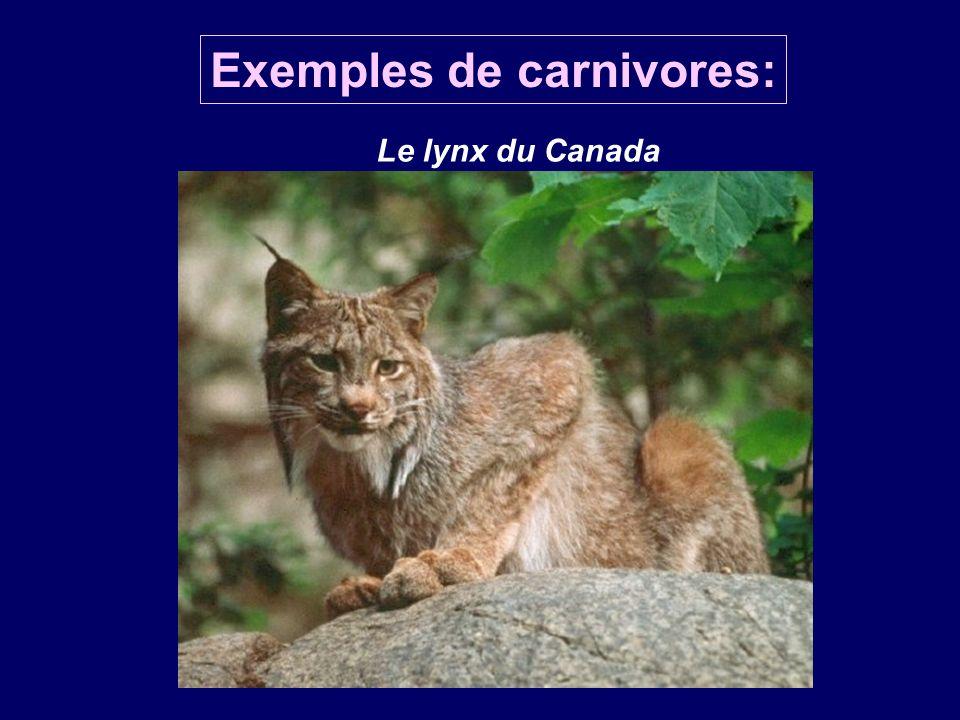Exemples de carnivores: Le lynx du Canada