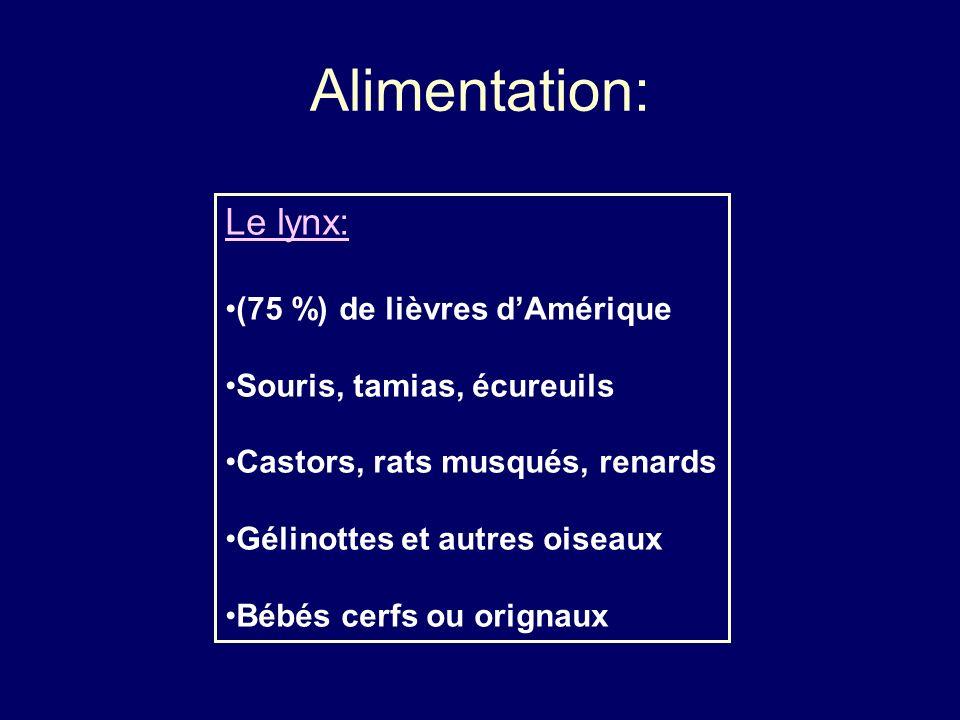 Alimentation: Le lynx: (75 %) de lièvres dAmérique Souris, tamias, écureuils Castors, rats musqués, renards Gélinottes et autres oiseaux Bébés cerfs o