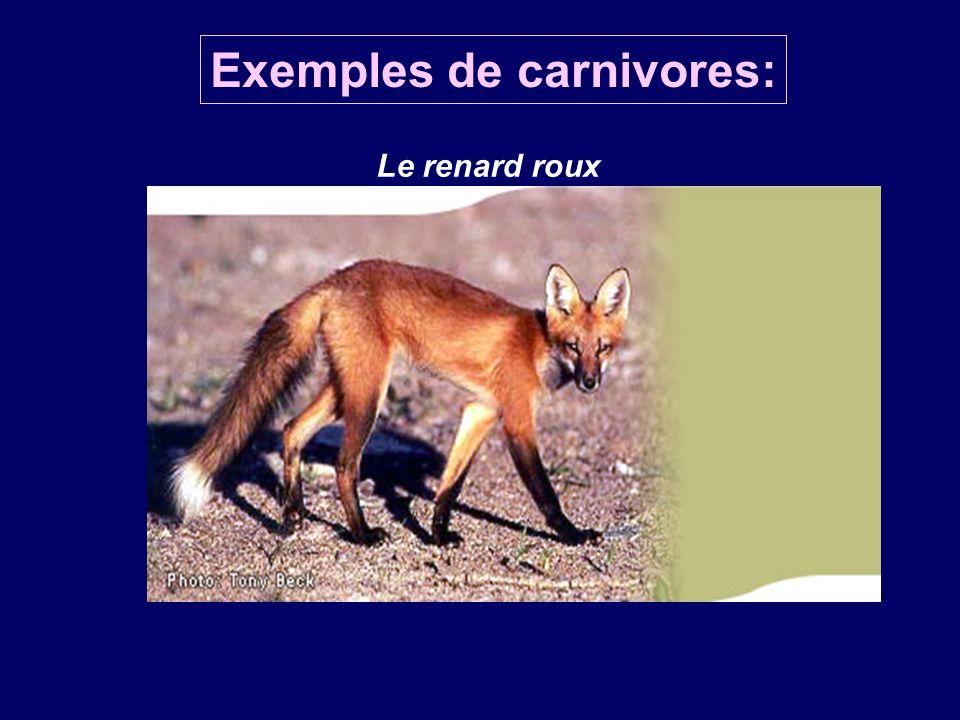 Exemples de carnivores: Le renard roux