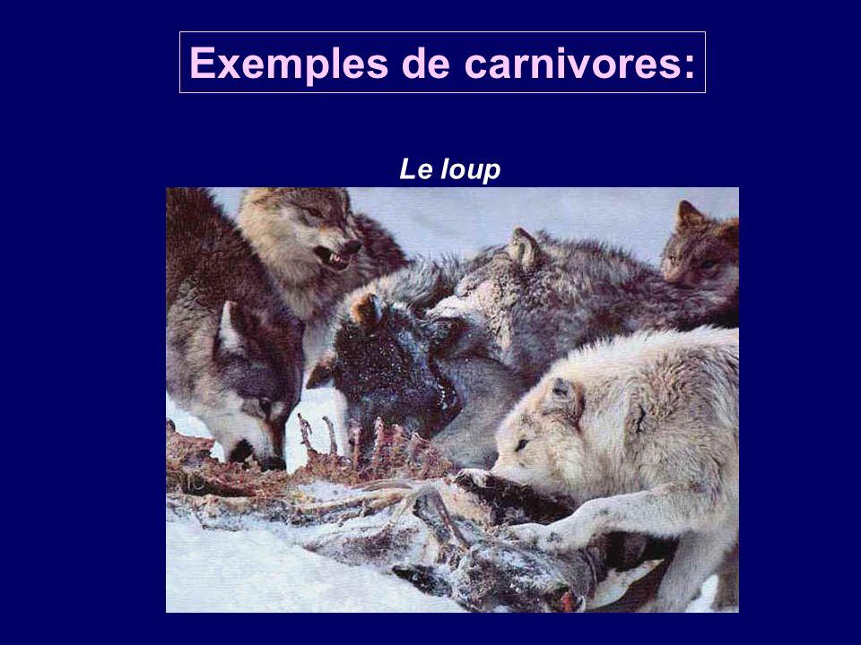 Le loup Exemples de carnivores: