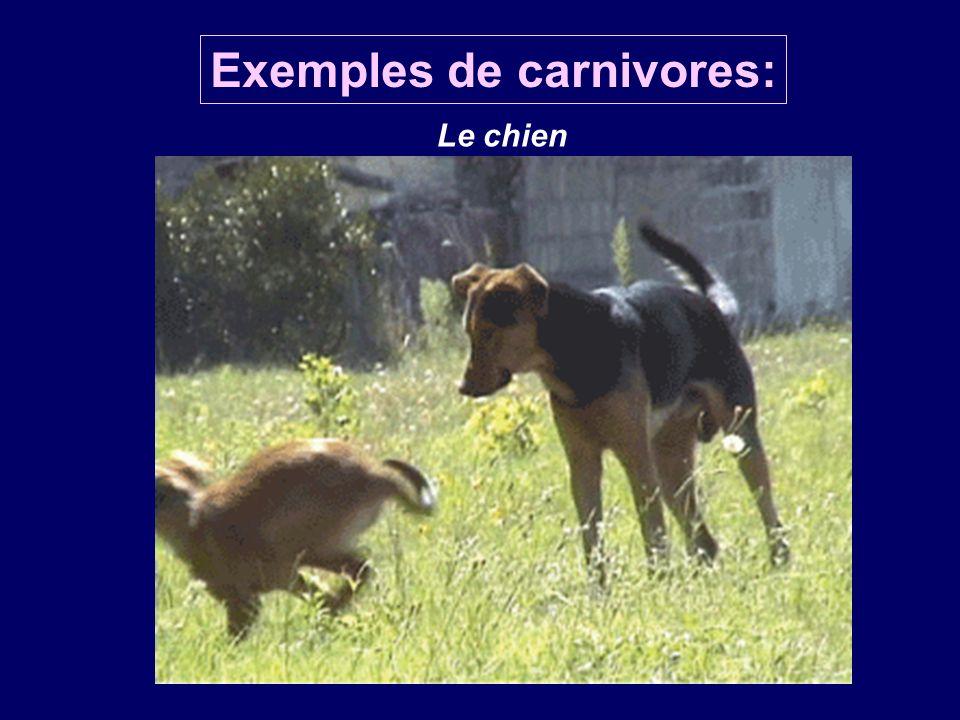 Le chien Exemples de carnivores: