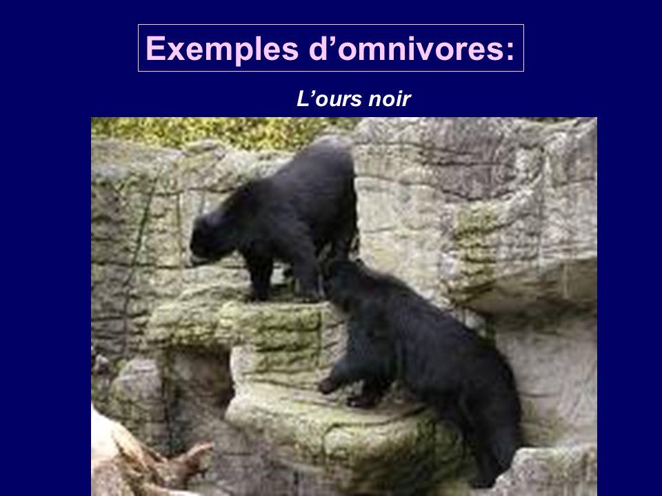 Exemples domnivores: Lours noir