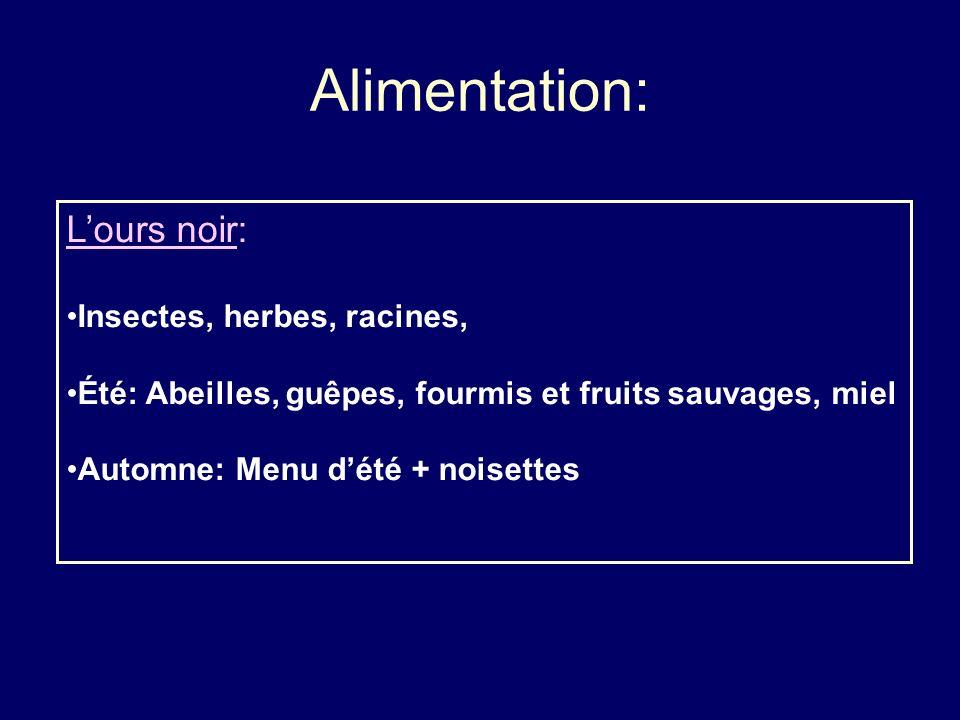 Alimentation: Lours noir: Insectes, herbes, racines, Été: Abeilles, guêpes, fourmis et fruits sauvages, miel Automne: Menu dété + noisettes