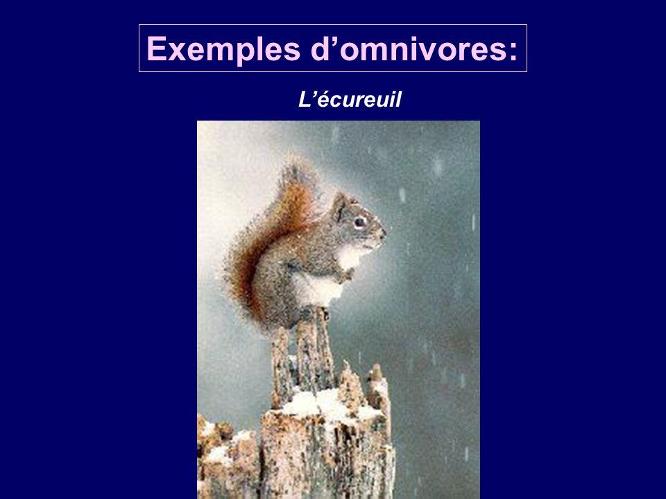 Lécureuil Exemples domnivores: