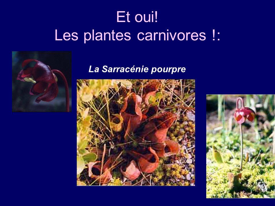Et oui! Les plantes carnivores !: La Sarracénie pourpre