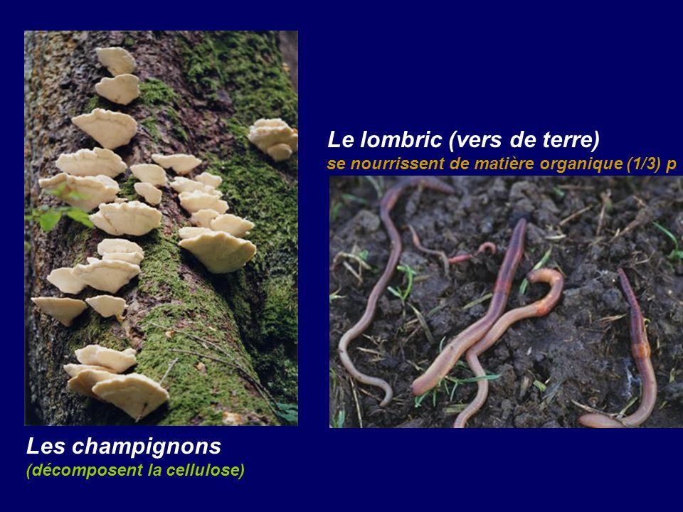 Le lombric (vers de terre) se nourrissent de matière organique (1/3) p Les champignons (décomposent la cellulose)