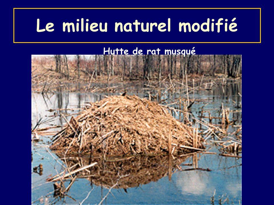 Hutte de rat musqué Le milieu naturel modifié