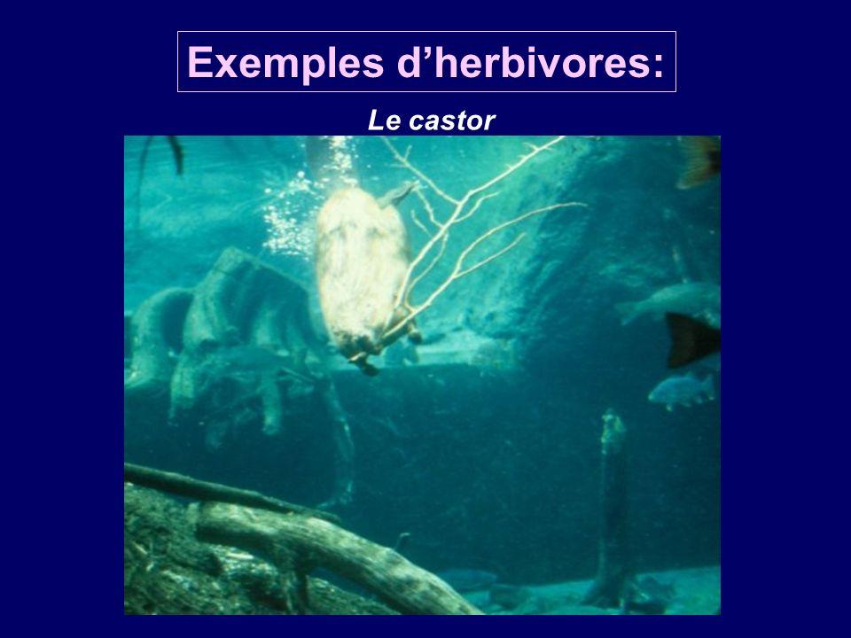 Exemples dherbivores: Le castor