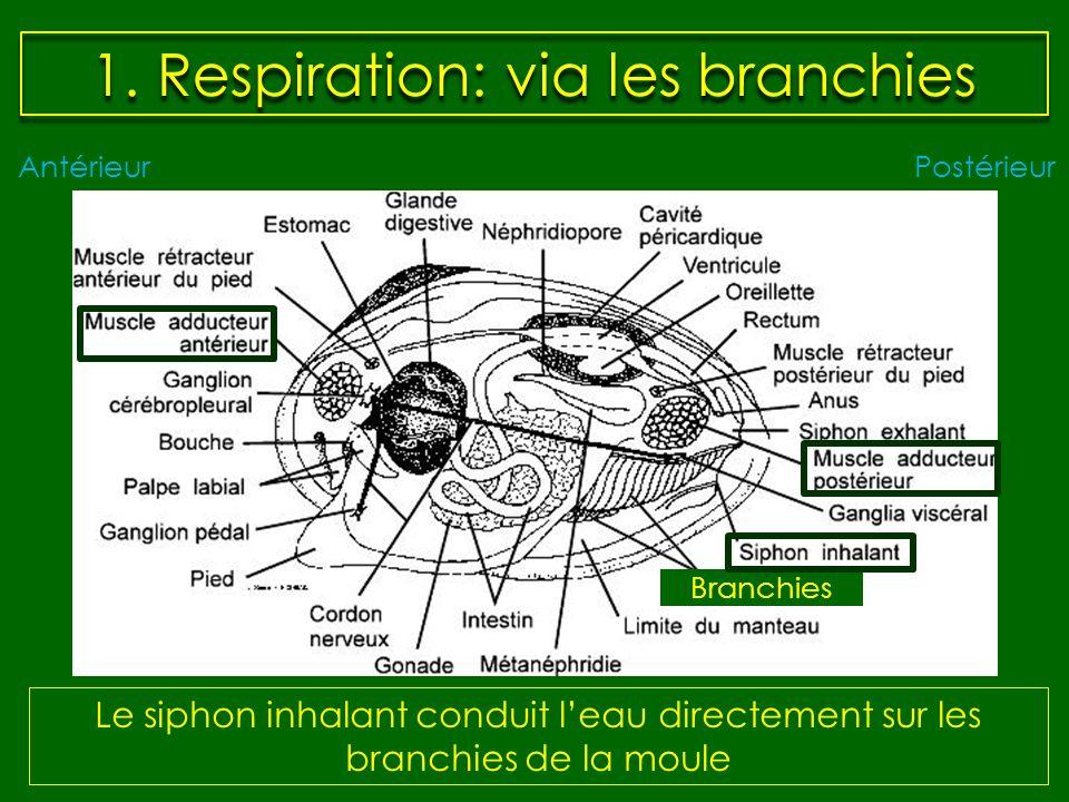 1. Respiration: via les branchies Le siphon inhalant conduit leau directement sur les branchies de la moule AntérieurPostérieur Branchies