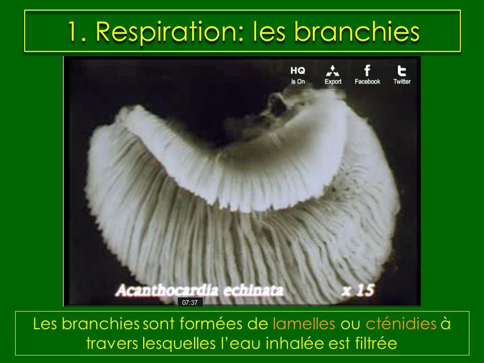 1. Respiration: les branchies Les branchies sont formées de lamelles ou cténidies à travers lesquelles leau inhalée est filtrée
