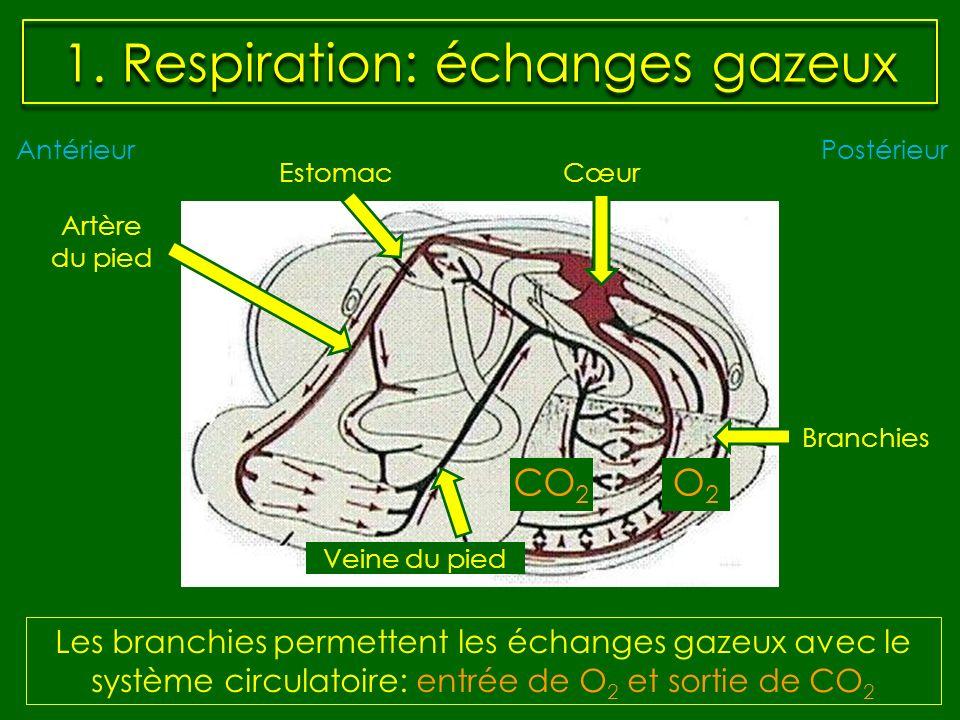1. Respiration: échanges gazeux Les branchies permettent les échanges gazeux avec le système circulatoire: entrée de O 2 et sortie de CO 2 AntérieurPo
