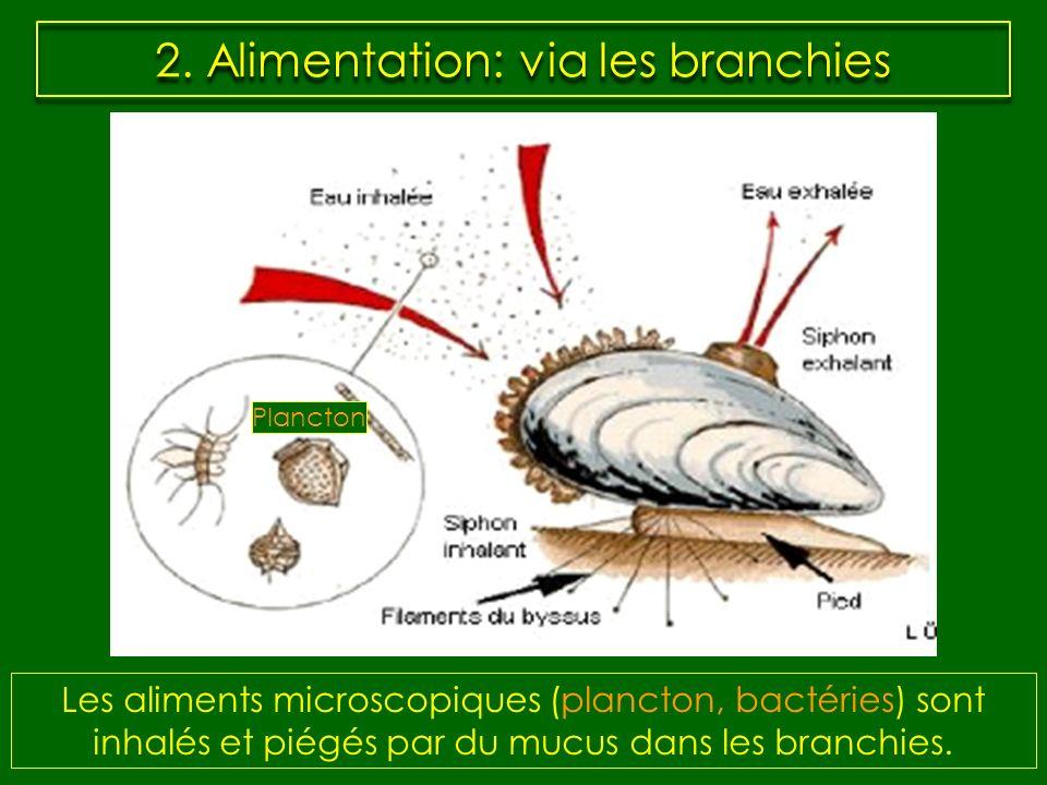 2. Alimentation: via les branchies Les aliments microscopiques (plancton, bactéries) sont inhalés et piégés par du mucus dans les branchies. Plancton