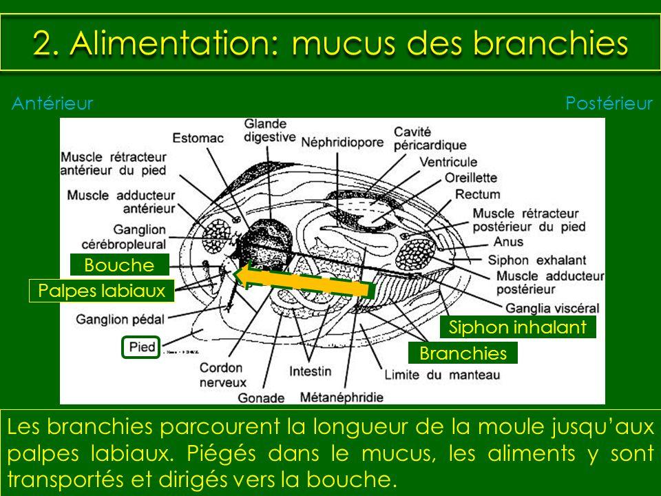 2. Alimentation: mucus des branchies Les branchies parcourent la longueur de la moule jusquaux palpes labiaux. Piégés dans le mucus, les aliments y so