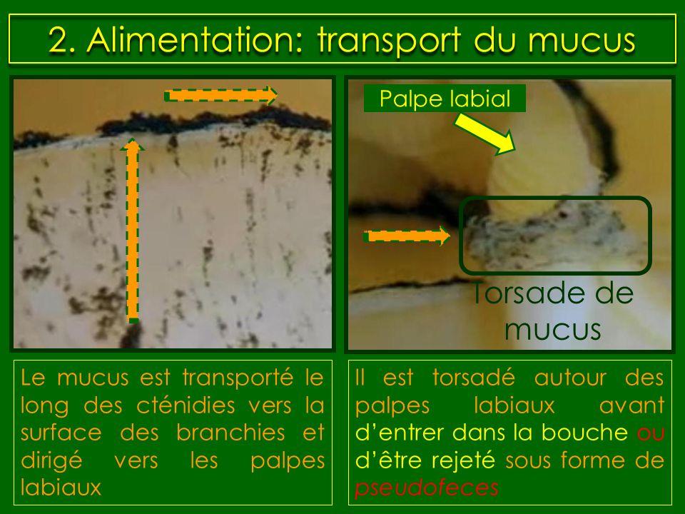 2. Alimentation: transport du mucus Le mucus est transporté le long des cténidies vers la surface des branchies et dirigé vers les palpes labiaux Palp