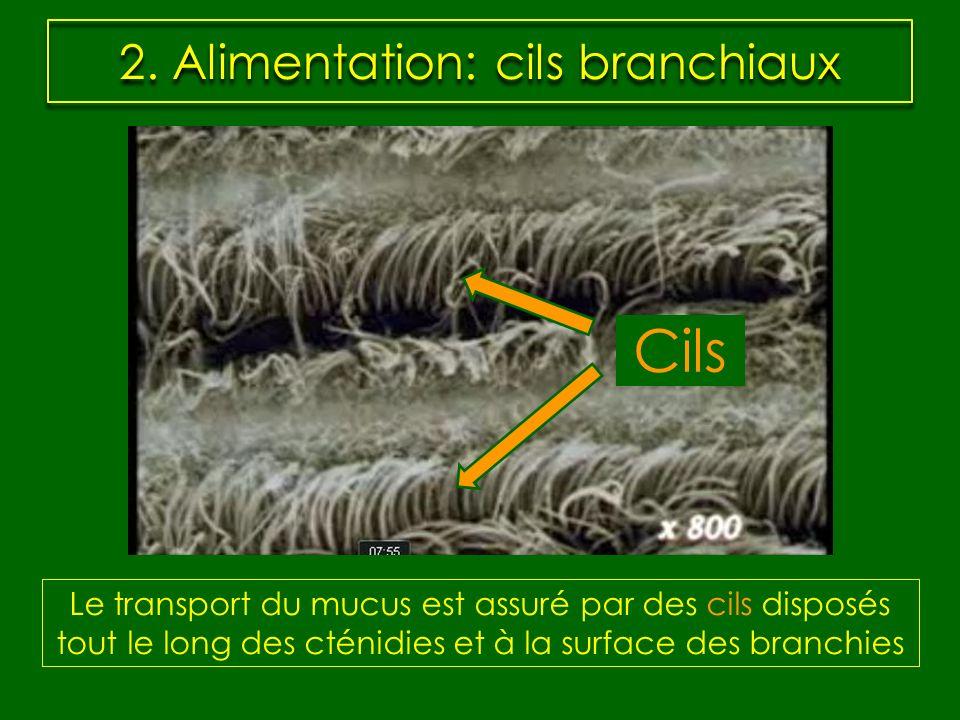 2. Alimentation: cils branchiaux Le transport du mucus est assuré par des cils disposés tout le long des cténidies et à la surface des branchies Cils
