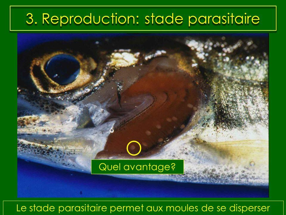 3. Reproduction: stade parasitaire Le stade parasitaire permet aux moules de se disperser Quel avantage?