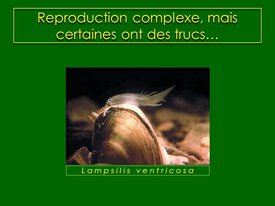 Reproduction complexe, mais certaines ont des trucs… L a m p s i l i s v e n t r i c o s a