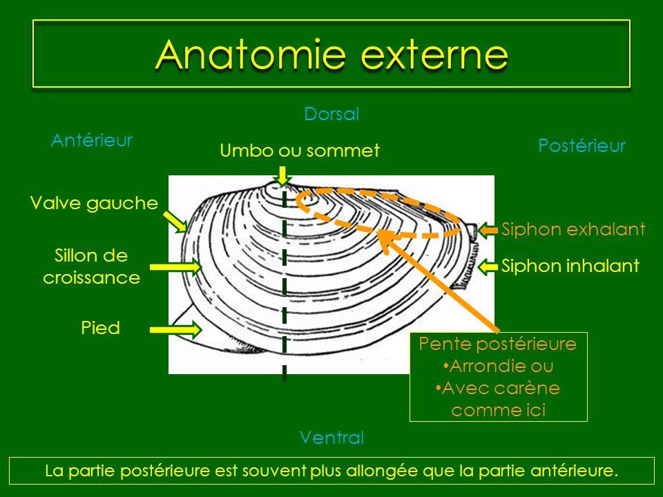 Anatomie externe Siphon inhalant Siphon exhalant Dorsal Ventral Antérieur Postérieur Pied Umbo ou sommet Pente postérieure Arrondie ou Avec carène com