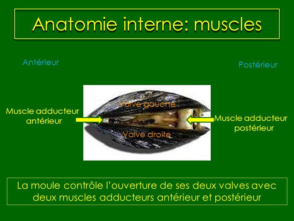 Anatomie interne: muscles Muscle adducteur postérieur Antérieur Postérieur Muscle adducteur antérieur La moule contrôle louverture de ses deux valves